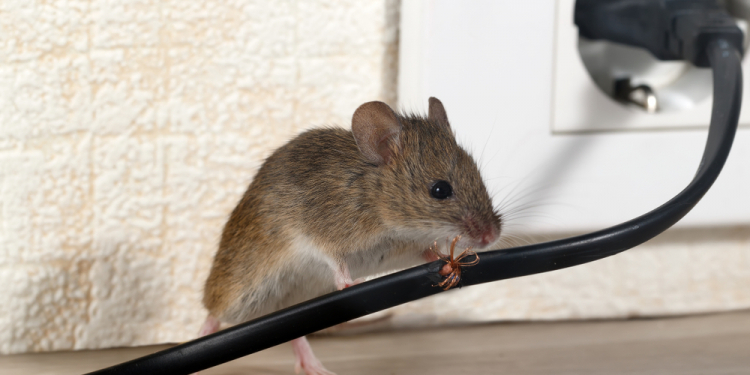 Are you afraid from Rodents